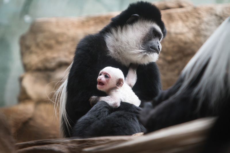 Colobus_baby_2018_1_Credit_Ethan_Riepl_Saint_Louis_Zoo_web