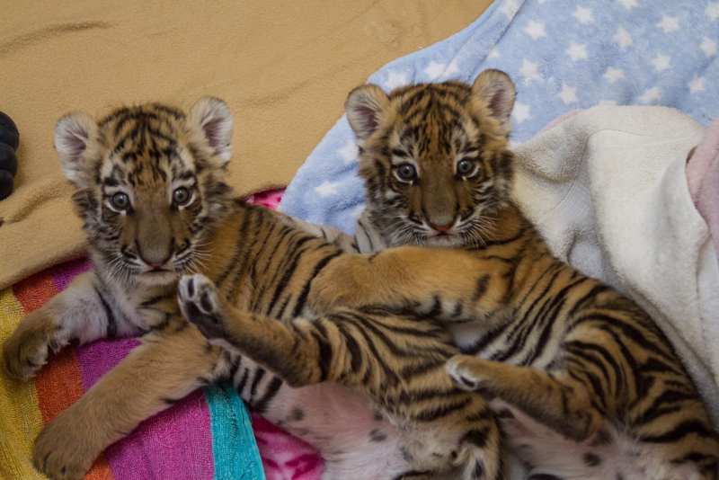 Tiger cubs jan 23 2017