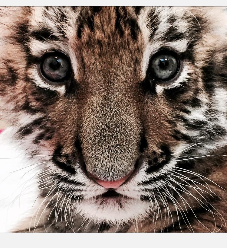 Tiger cub by olivia graham