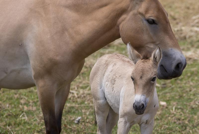 2_Przewalski's Horse foal