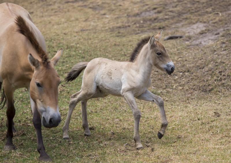 3_Przewalski's Horse foal