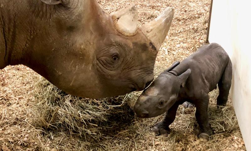 Baby_Rhino_03