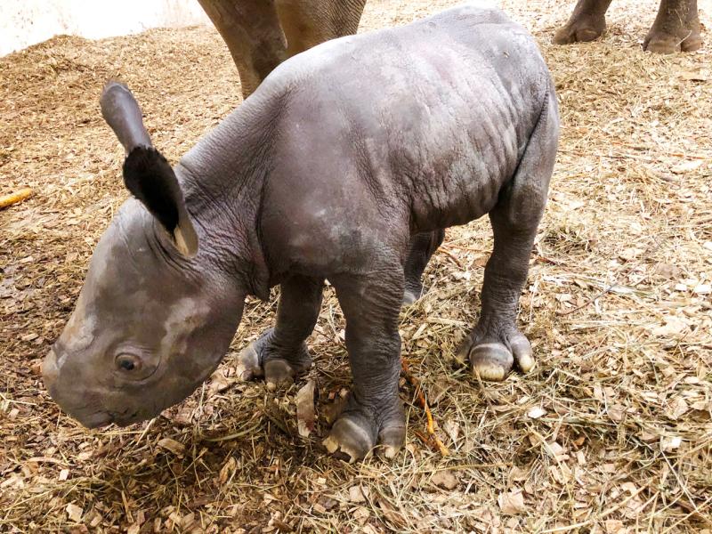 Baby_Rhino_02