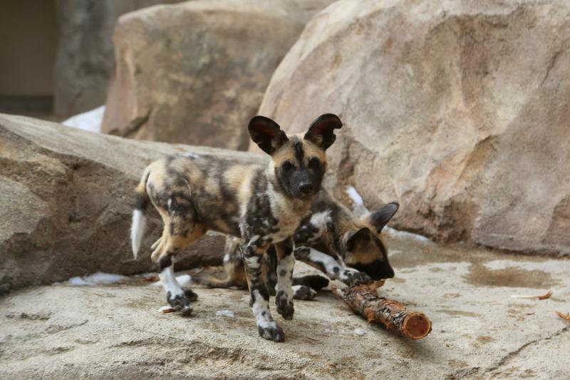 4_AWD Puppies_Feb 14_2