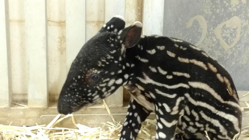 3_MN Zoo Tapir Calf 2018