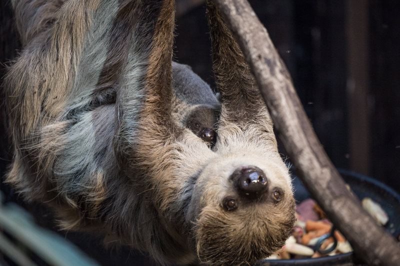 2_Marilyn and Lento - two-toed sloths (c) ZSL London Zoo (1)