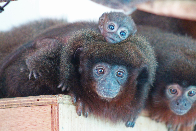 3_(3)  Inca will be having a relaxing Mother's Day while Aztec has his hands full  as male titi monkeys are the main childcare providers.