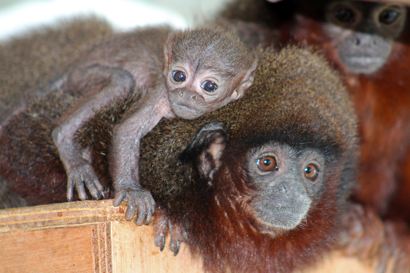 4_(1)  Belfast Zoo is celebrating the birth of a tiny red titi monkey.