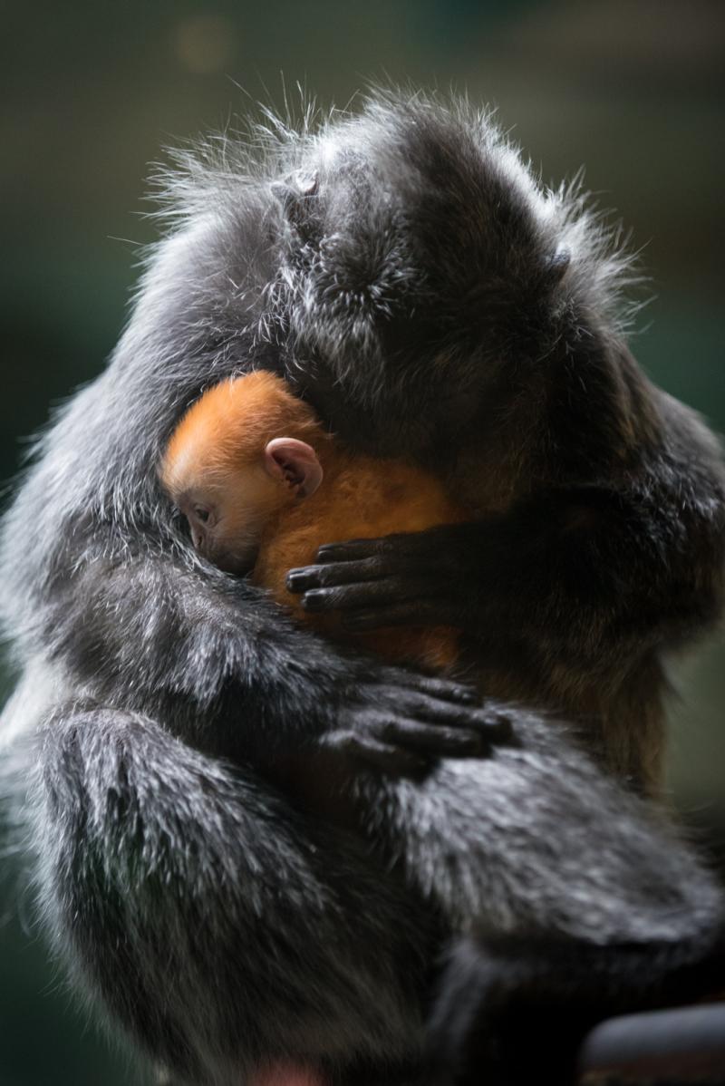 5_Langur Baby 2018 6533 - Grahm S. Jones  Columbus Zoo and Aquarium