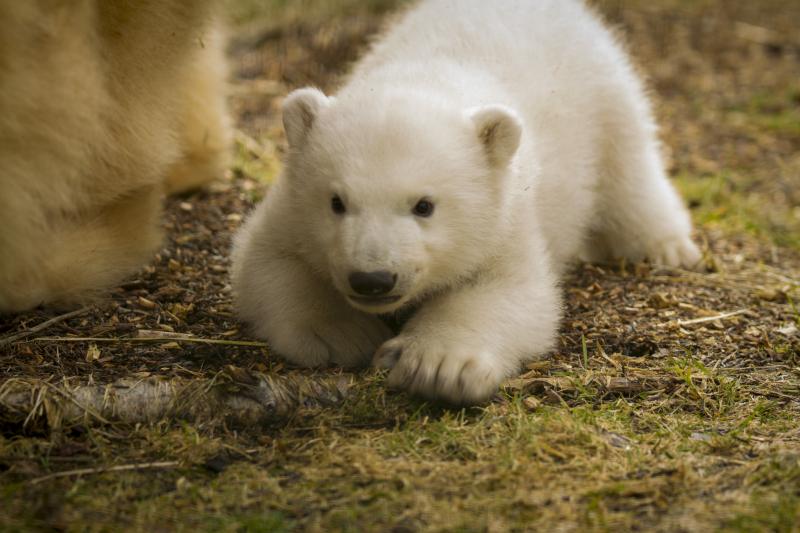 4_Polar_Bear_cub_JP_3