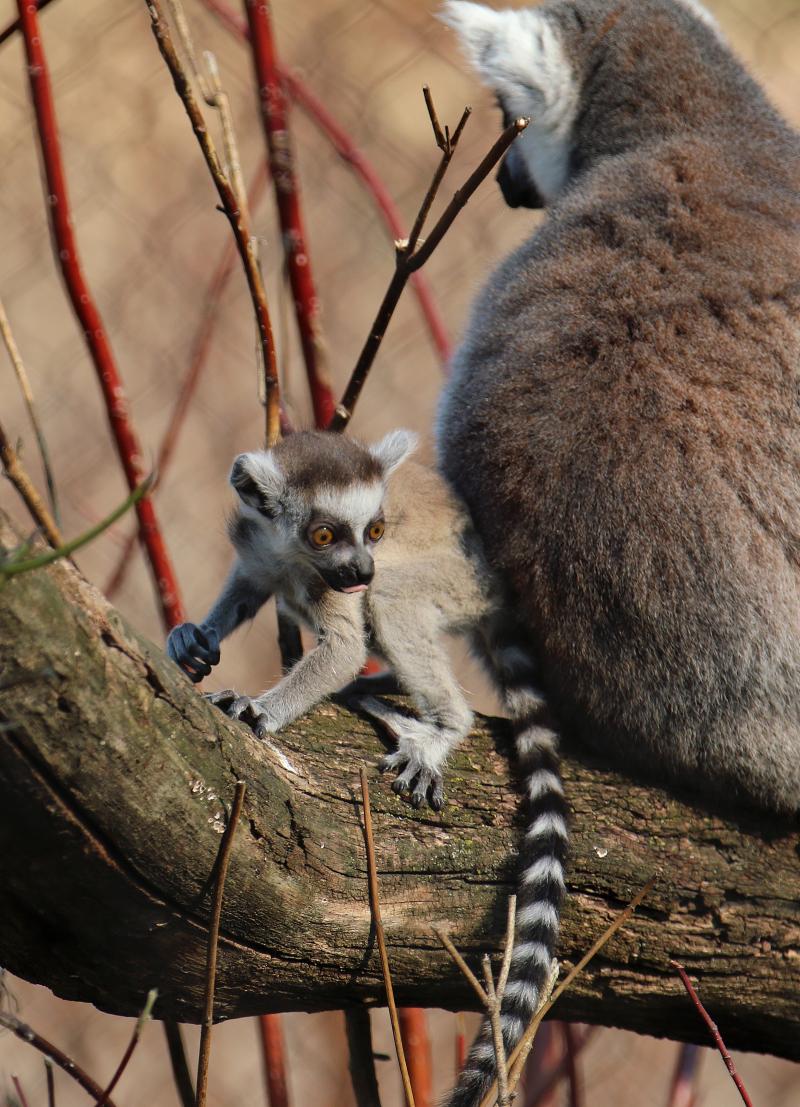 Lemur Baby explorig-Carla Knapp