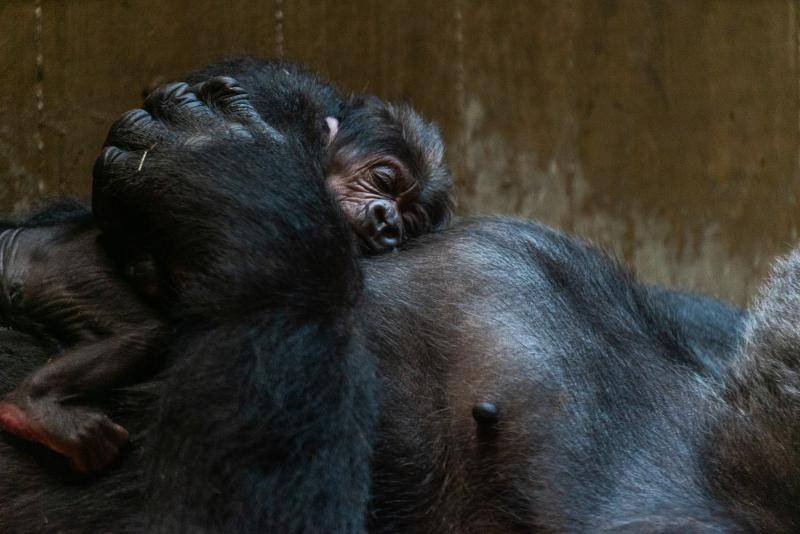 2_gorillas_calaya_and_moke_dsc01829