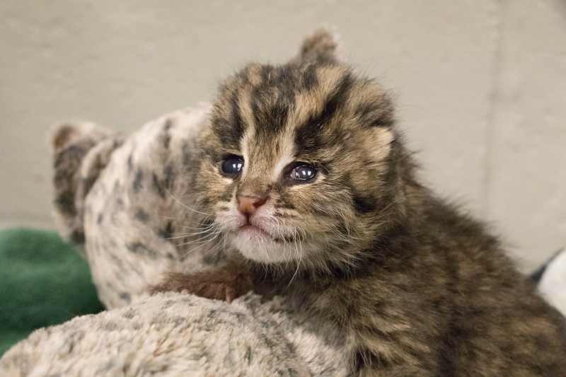 Rare baby fishing cat arrives by cesarean delivery zooborns fishing cat cub 9 publicscrutiny Images