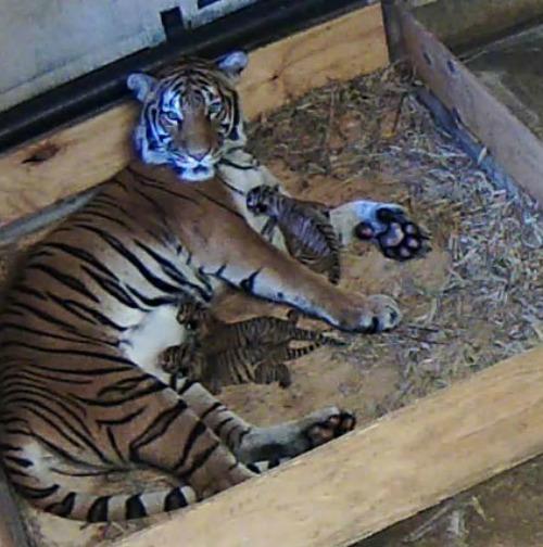 Malayan tiger cubs_Tulsa_3
