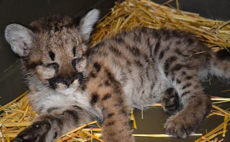 Cougar cub_ZooAmerica_9