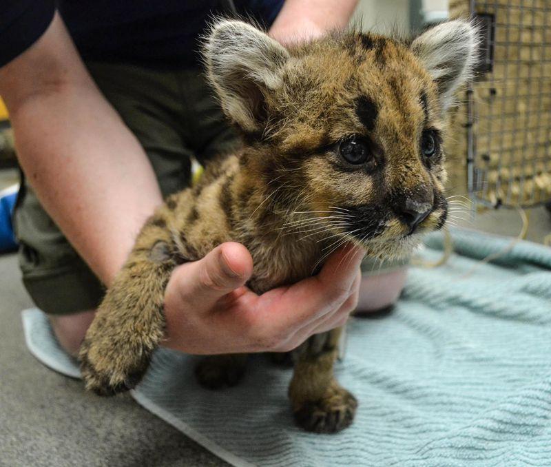Cougar cub_ZooAmerica_5