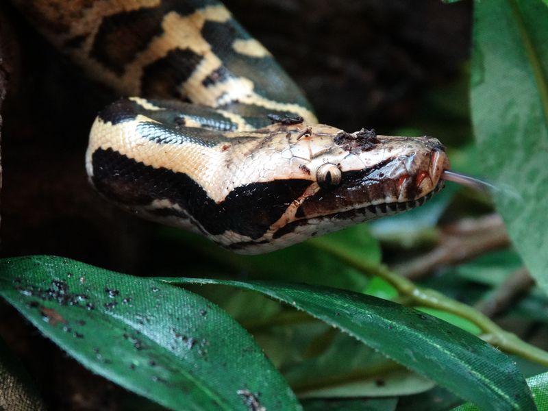 Snake birth Blood Python DR CWP