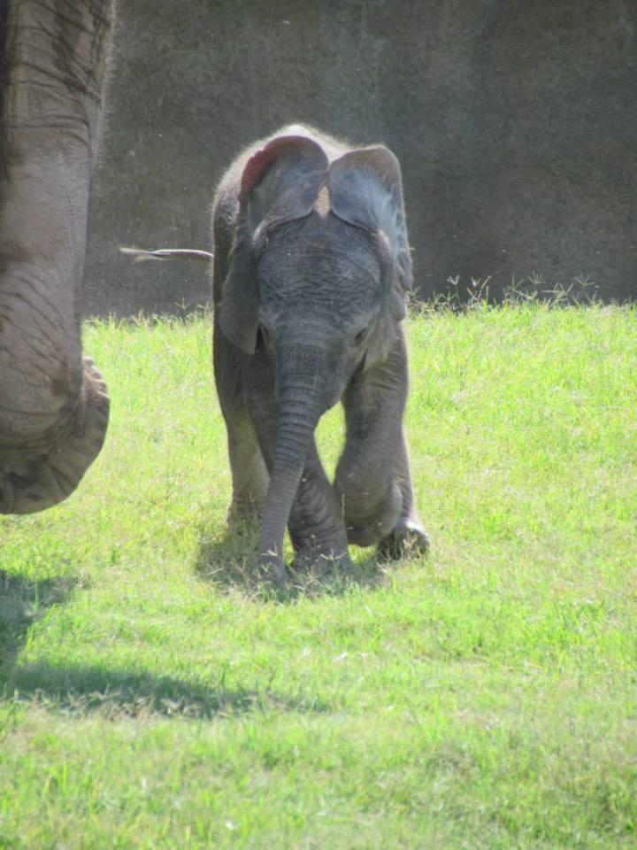 Semba's calf_RPZ_15