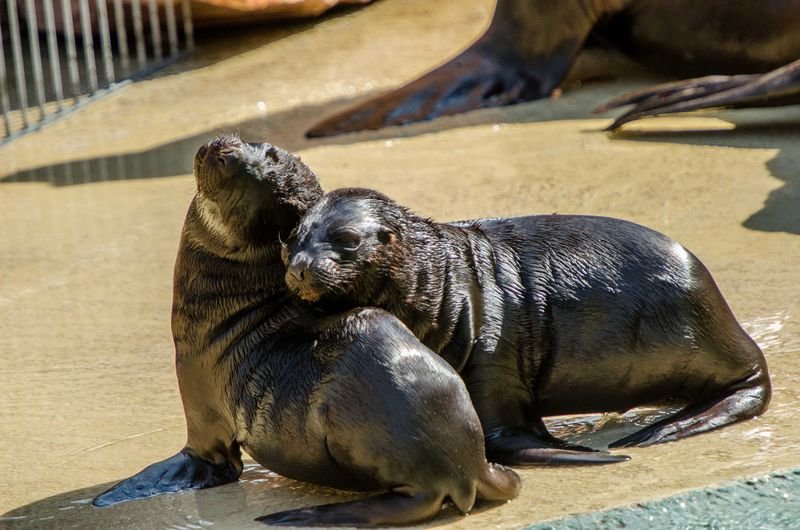 Sea Lion pups_ZooHeidelberg_3