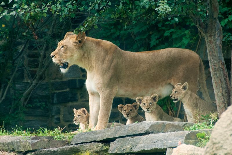 PhillyZooLionCubs_7