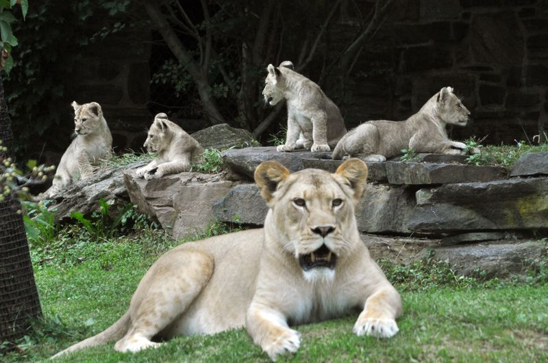 PhillyZooLionCubs_5