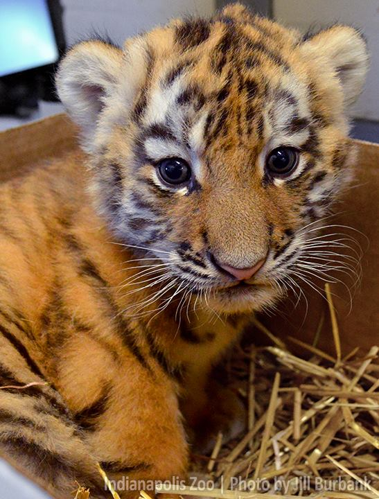 Tiger Cub_Indianapolis Zoo_update_2