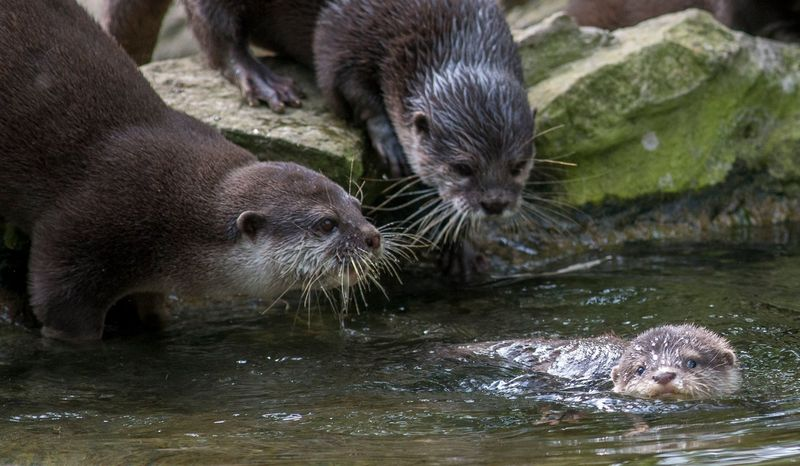ZooBerlin_Small Clawed Otter_3