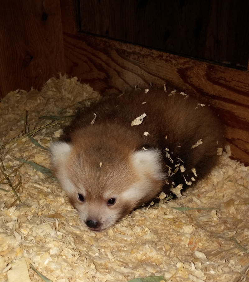 Red panda cub - credit Melissa Durham (2)
