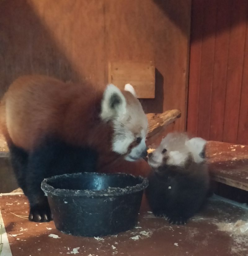 Red panda cub and mom 3 (3)