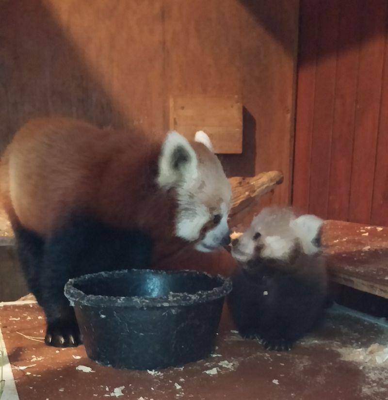 Red panda cub and mom 3 (3)