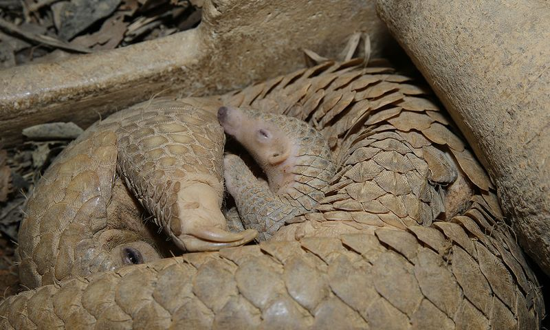 Radin the Sunda pangolin in the protective clutch of his mother, Nita