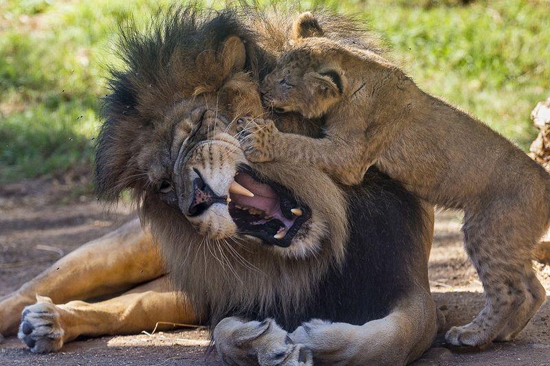 LionDadCubIzuEvelyn_Web