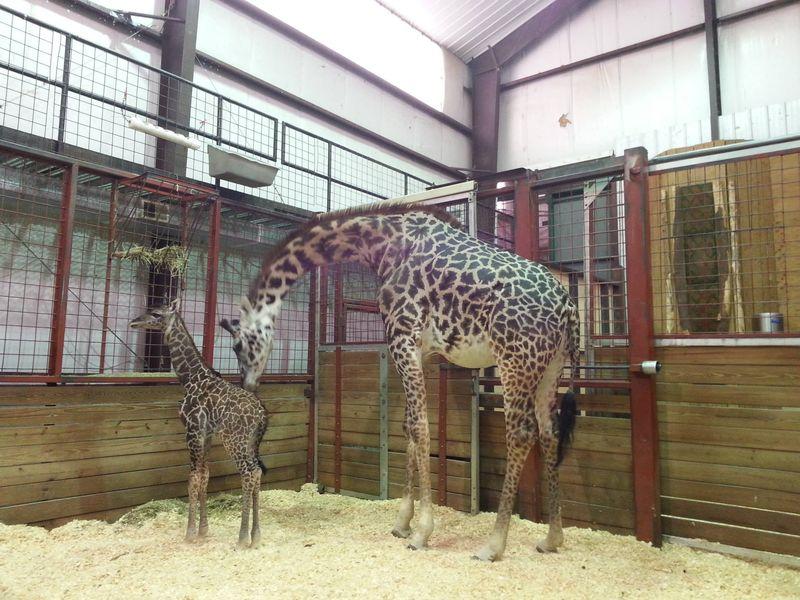 FranklinPark_GiraffeBaby_5