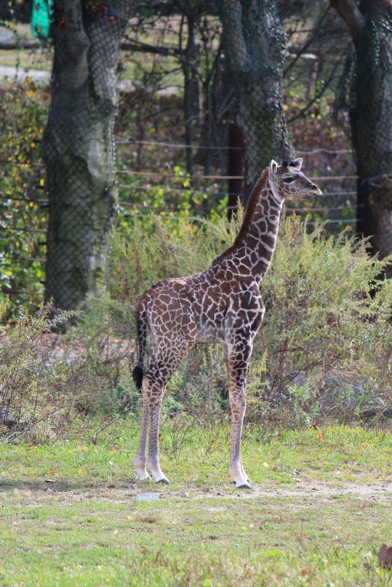FranklinPark_GiraffeBaby_7
