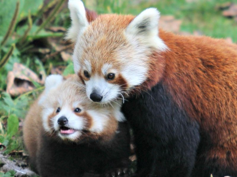 (1)  Belfast Zoo is celebrating the first red panda cub to be born at the Cave Hill site in 18 years!