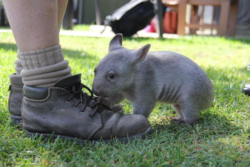 Chloe the Wombat (11)