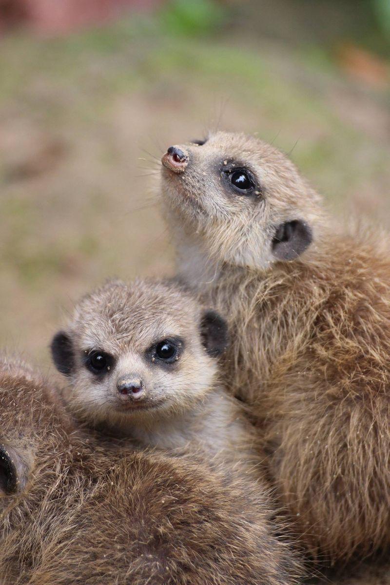 Meerkats_ZooOsnabruck_8