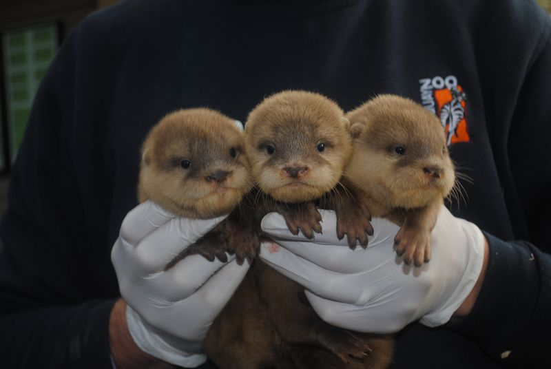 Baby Otters 16.10.14