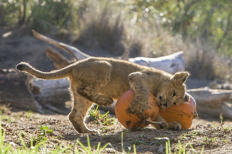 African Lion Cub_San Diego Zoo