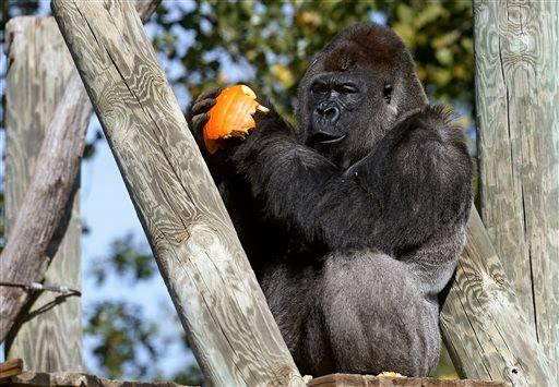 Gorilla_OKC