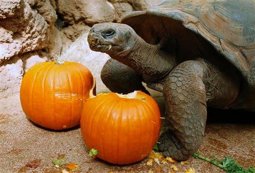 Galapagos tortoise_OKC