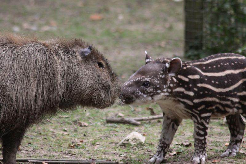 2_Tapir and Capybara by visitor Georgia Hicks aged 11