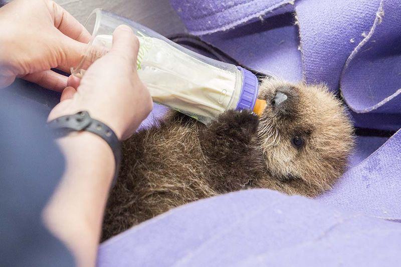 Shedd_Sea Otter Pup_7