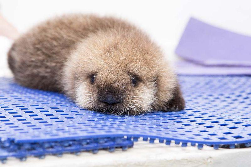 Shedd_Sea Otter Pup_12