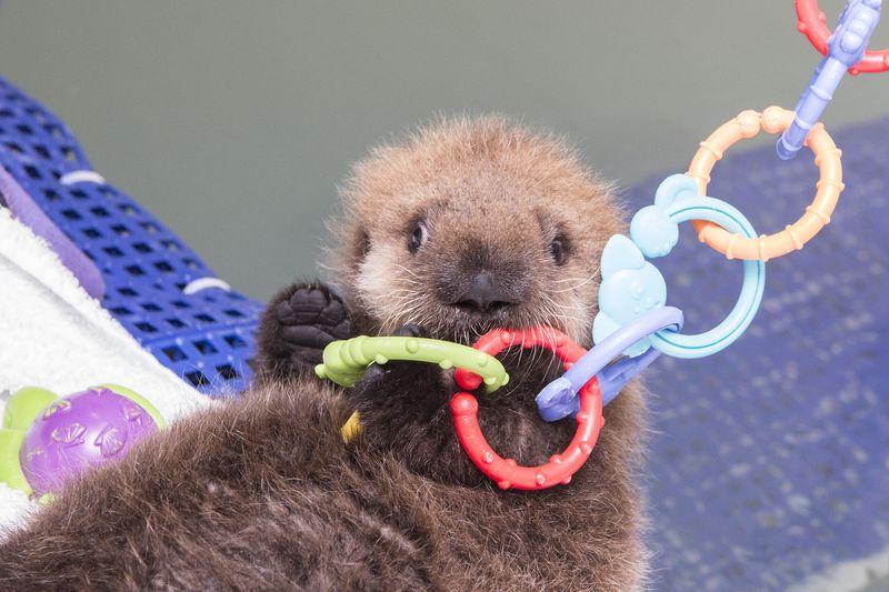 Shedd_Sea Otter Pup_29