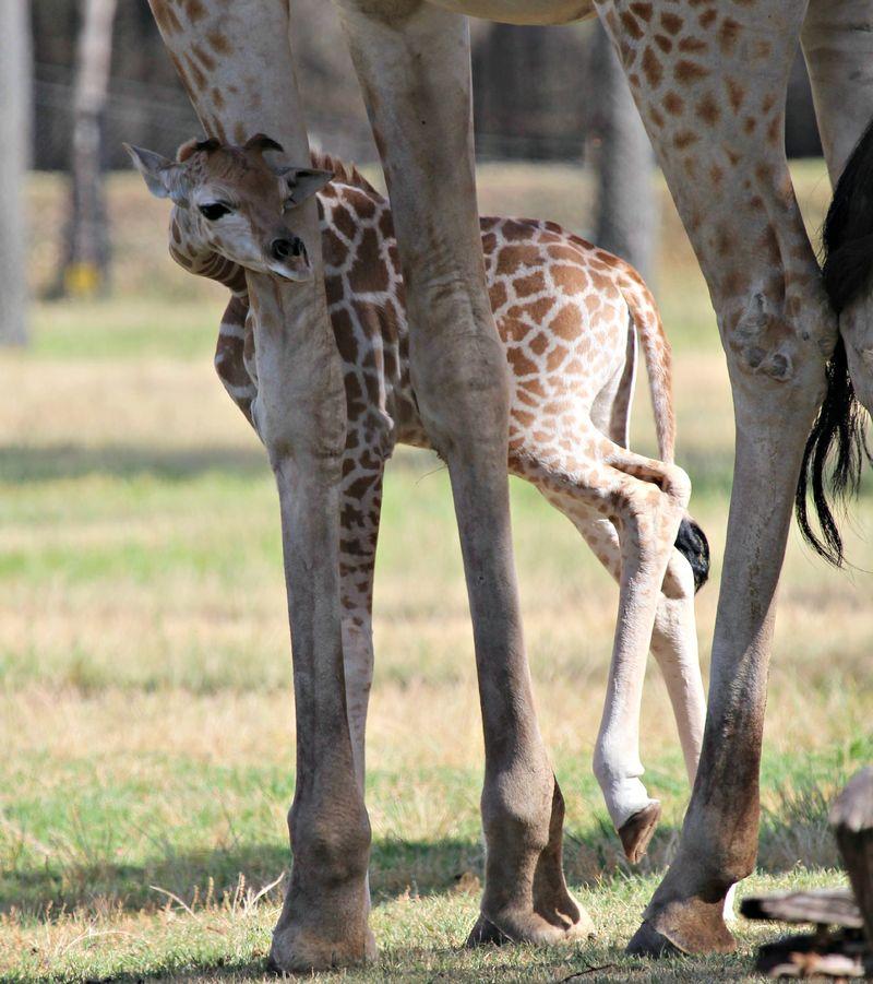 Ajali giraffe calf SM (6)