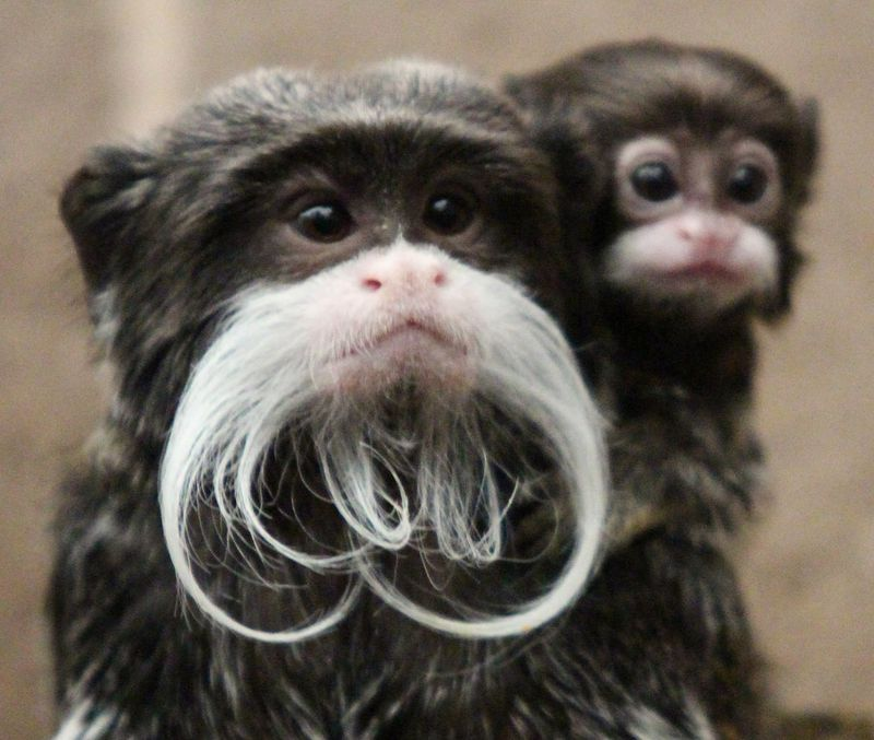 (2)  The moustached little monkey, who has been named Lucky, was born on 28 September 2014 to mother, Bella and father, Alfie.