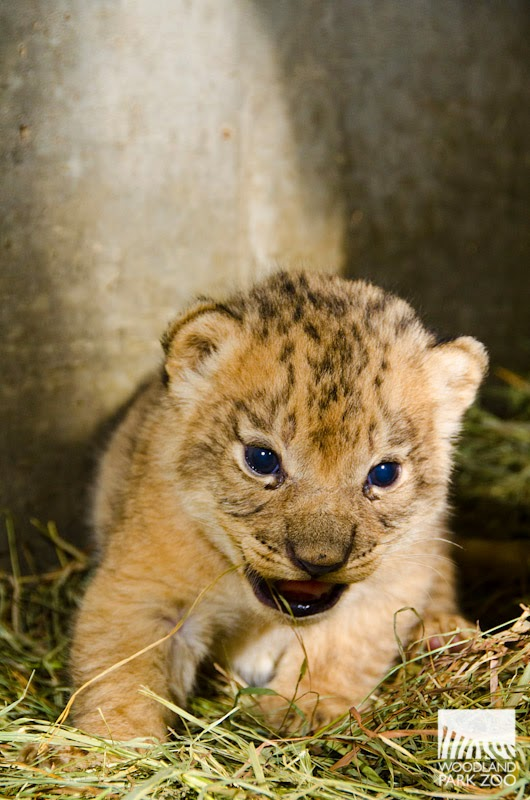 Lion Triplets Get Cuter Every Day