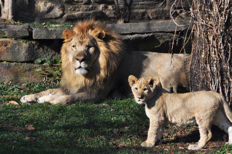 Lion Reunion