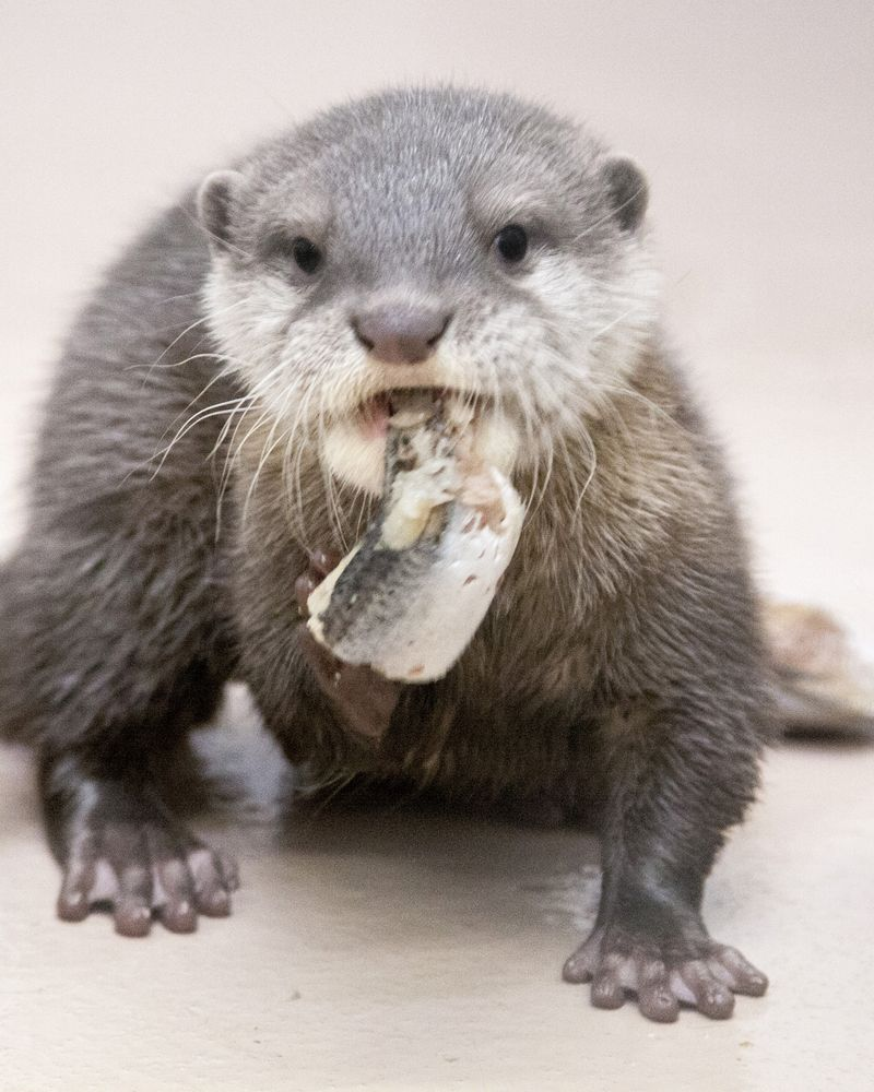 Small-clawed-otter_Jilin_02